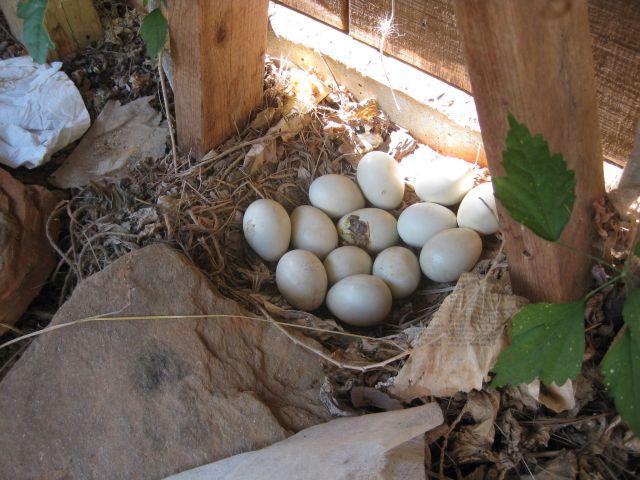 Randa's nest of 13 eggs