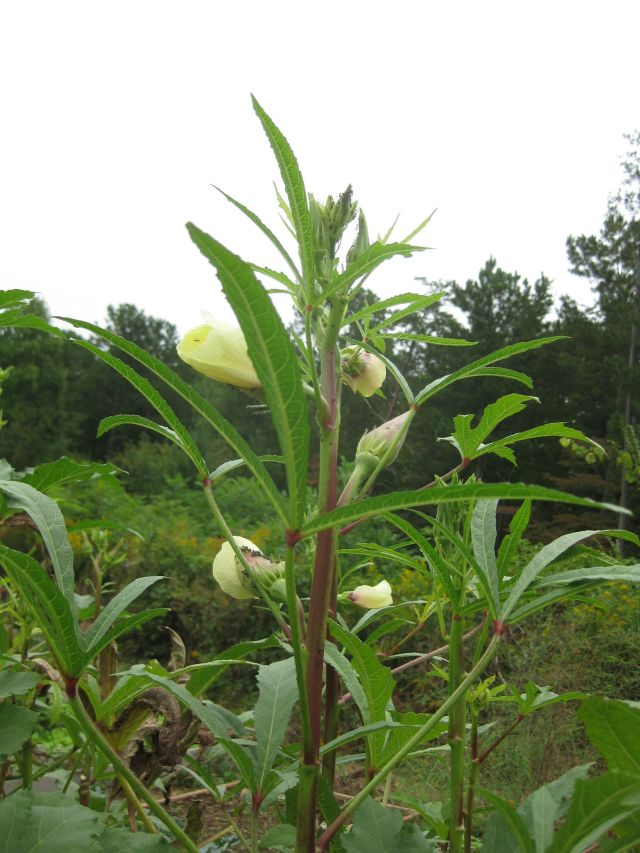 only 1 okra plant was affected and then only at the top and late in the season