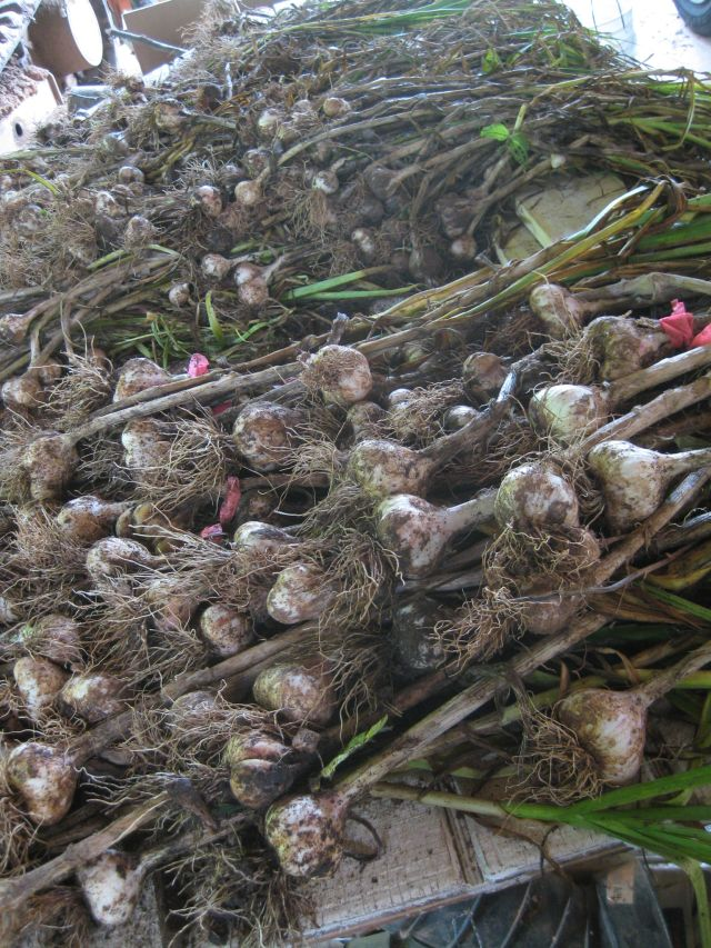 larger garlic is closest for  seeding in the fall, the remainder is for eating and friends
