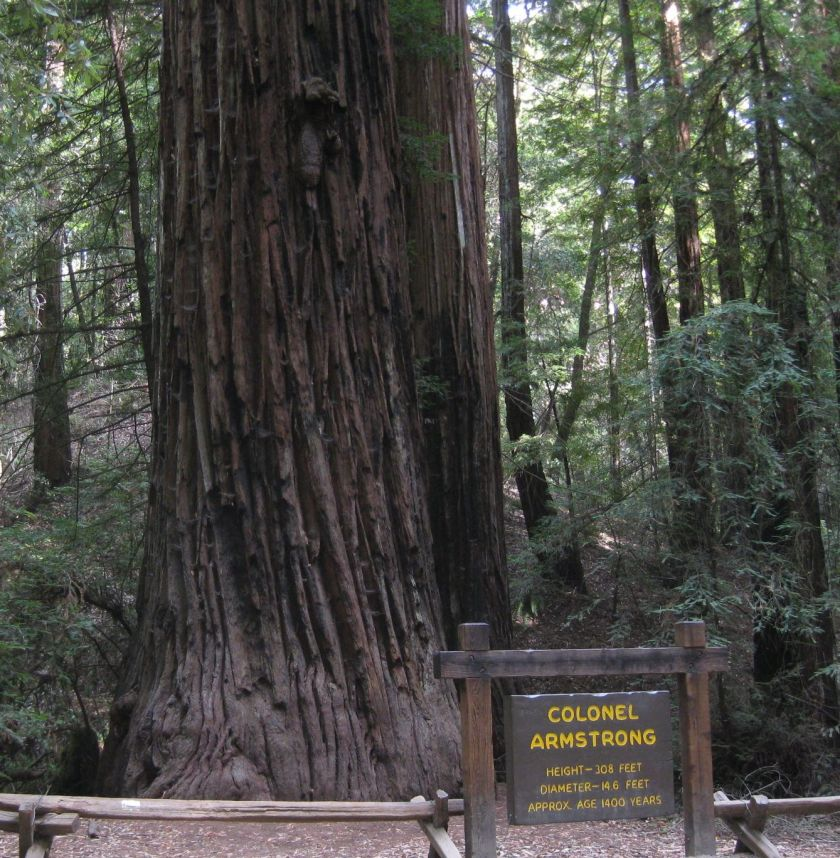 one of the large redwoods, diameter>14', age>1,400 years, height>300'