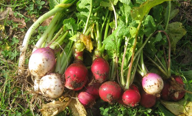 additions to the salad - turnips, radishes and scallions