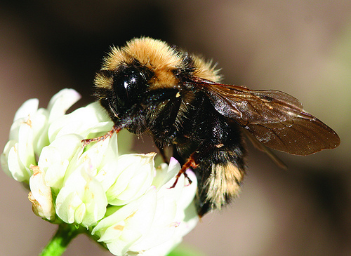 Bees are one of nature's many pollinators for flowers and crops and are crucial in production for fruits and vegetables. USDA Photo by Forest Service.