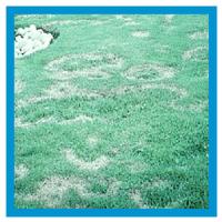 Turfgrass Diseases | Nutri-Lawn
