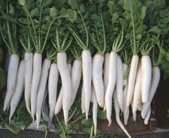 Radish nutrition facts and health benefits