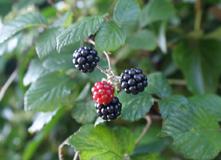 blackberries plant
