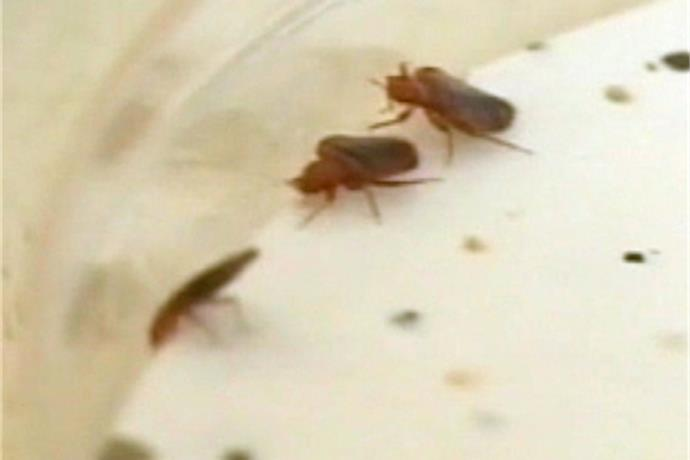 Bed Bugs on the Rise_-3867869324890387636