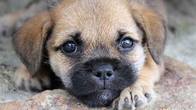 Puppy-dog-laying-down-jpg_20150806151942-159532