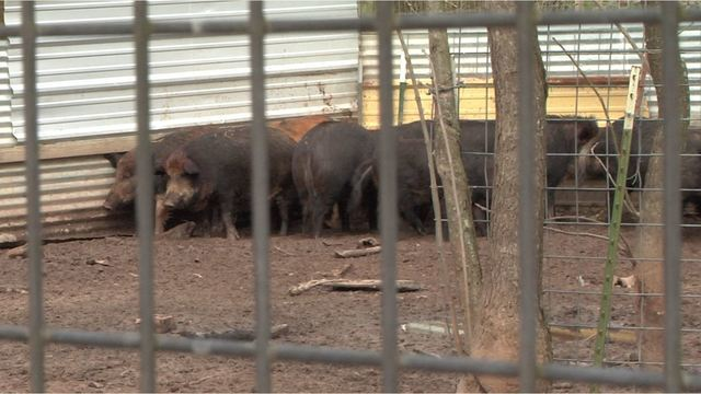 Rounding_up_feral_hogs_in_Texas_that_cau_0_20190218161922-118809306