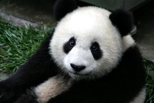 https://i0.wp.com/www.nwasianweekly.com/wp-content/uploads/2015/34_11/world_panda.JPG