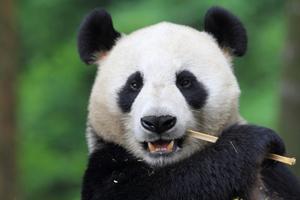 https://i0.wp.com/www.nwasianweekly.com/wp-content/uploads/2016/35_02/names_panda2.jpg