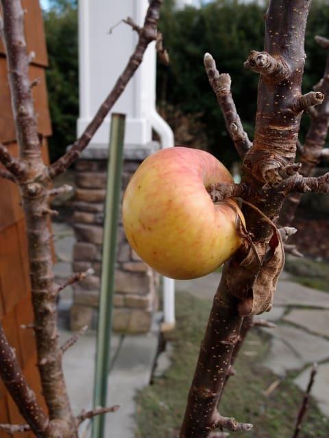 Lone apple still hanging on