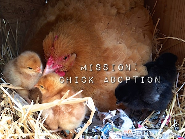 Will A Broody Hen Adopt Chicks?