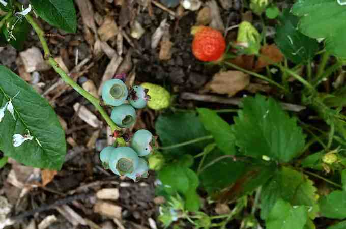Strawberries and blueberries in the perennial bed.