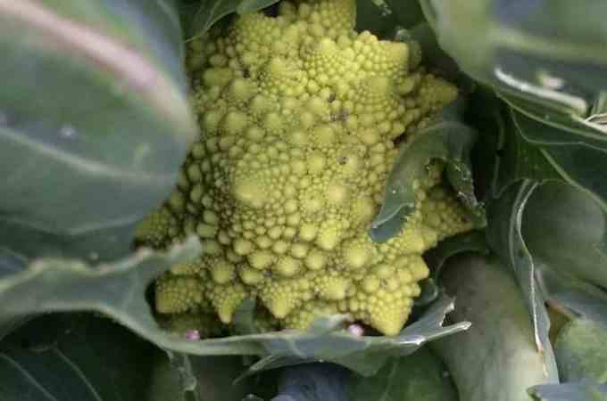 Romanesco is one of the most beautiful veg you can grow.