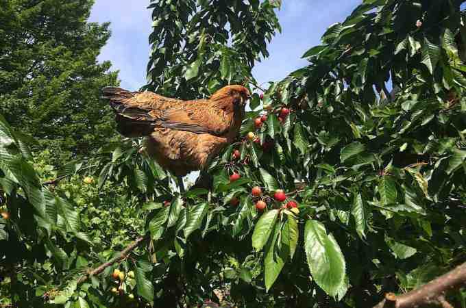 Cherries for the birds. (Wait, what?! Get down from there!)