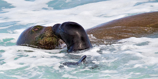 Hawaiian Monk Seal  National Wildlife Federation