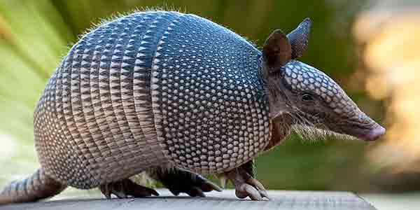nine banded armadillo national