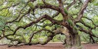 Southern Live Oak | National Wildlife Federation
