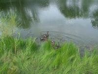 tn_ducks010