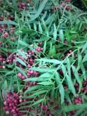 Pepperberry