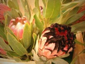 Pink Mink Protea