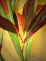 Ti Leaf Stalk