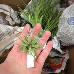 Air Plants (Small)