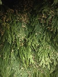 Incense Cedar Bough
