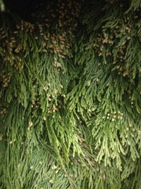 Incense Cedar Bough