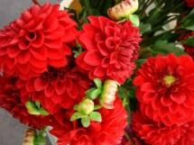 Red Poms