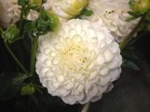 White Pom
