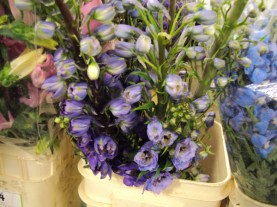 Purple/Blue Canadian