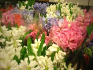 images_fresh_hyacinth_asst