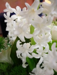 images_fresh_hyacinth_white2