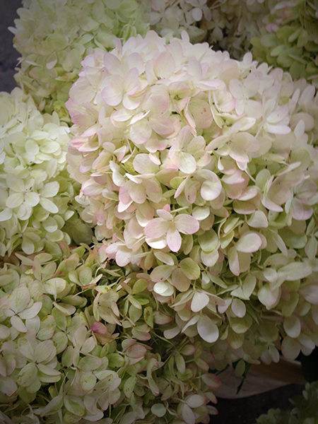 Hydrangea Northwest Wholesale Florists
