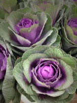 Canadian Purple/Green