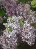 Lilacs (Lavender)