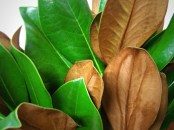 Magnolia Leaves