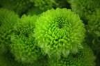 Green (Kermit)