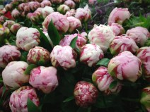 images_fresh_peonies_canada_pink