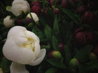 images_fresh_peonies_canada_white