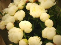 images_fresh_peony_white_group