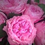 Mayra's Rose