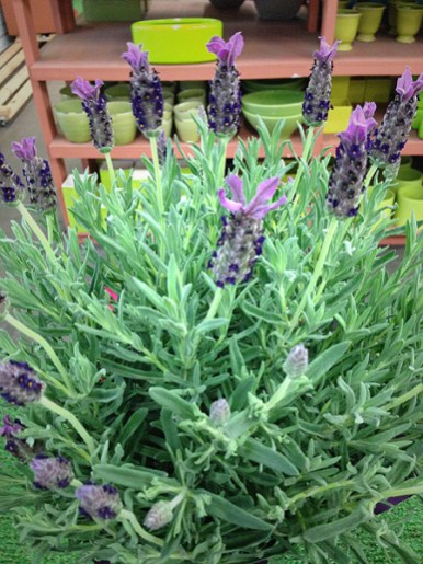 Potted 6 Inch Lavender