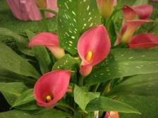 Dark Pink Callas