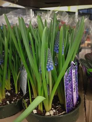 """Muscari (Grape Hyacinth) 4"""""""