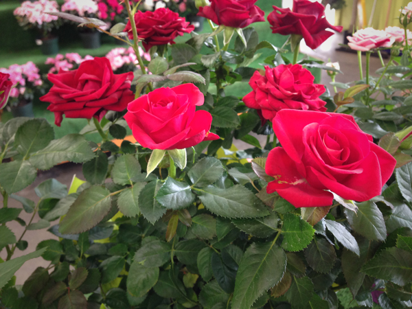 Roses Mini Northwest Wholesale Florists