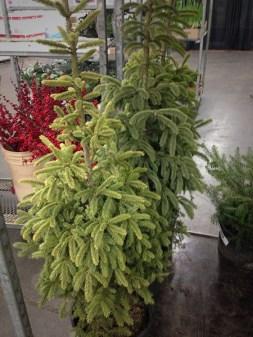 Spruce *
