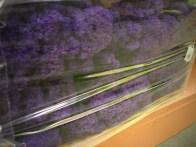 Reindeer Moss (Dyed Purple)