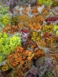 Assorted Fall Color Waxflower